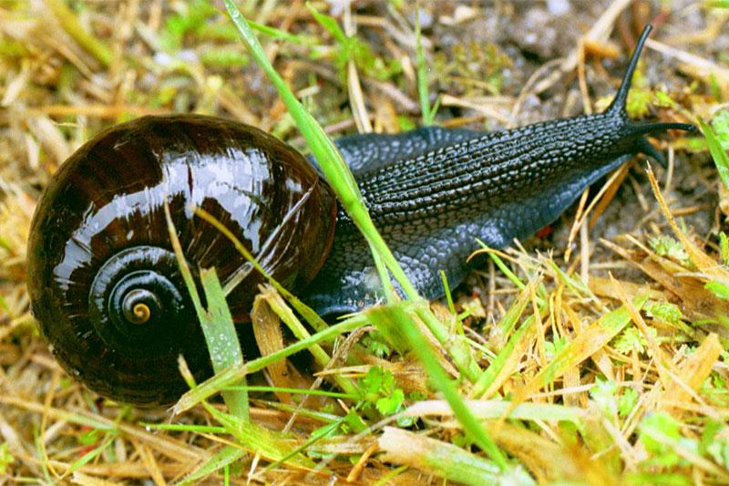 Amber Snail (Powelliphanta)